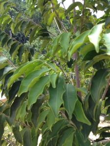 Miracles of Gaharu (Agarwood) plants